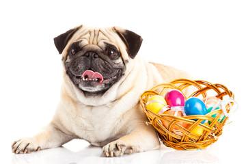 pug dog easter eggs  isolated on white background
