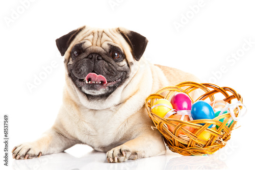 pug dog easter eggs  isolated on white background