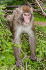 macaque monkey climbing on a common spruce tree