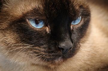 siamese cat face macro closeup