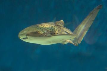 leopard shark in aquarium