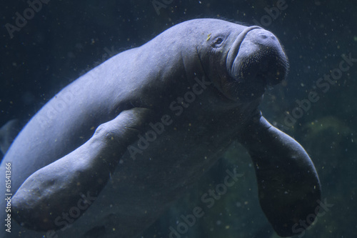manatee close up portrait