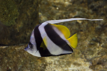 angel fish