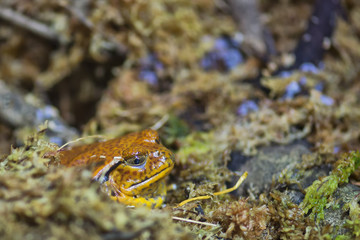 madagascar orange frog