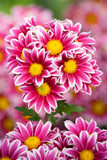Bunch of chrysanthemum