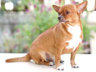 Fat Brown Chihuahua dog look to left