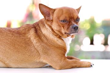 Fat Brown Chihuahua dog.