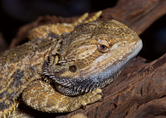 Bearded Dragon Lizard.