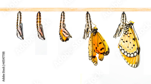 Deurstickers Vlinder Mature cocoon transform to Tawny Coster butterfly