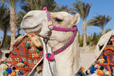 colorful camel head in egypt
