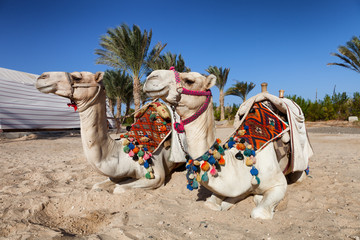two colorful camels in egypt