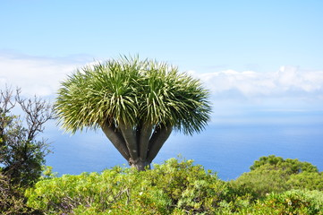 Drachenbaum auf der Insel La Palma