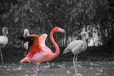 Flamand rose prêt pour l'envol - 61554732