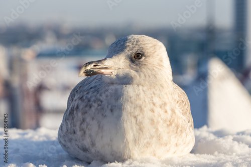 Seagull with winter Tallinn at the background
