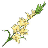 Vector Cartoon Isolated Illustration - Yellow Gladiuolus
