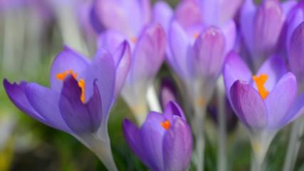 Blühender Crocus als Frühlingsbpote
