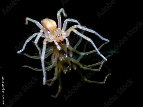 Yellow sac spider over black background