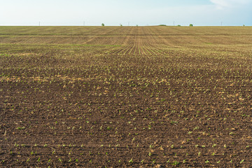 Field with sunflower sprouts