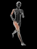 medical 3d illustration - female jogger with visible muscles