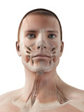 medical 3d illustration - male muscle system - facial muscles