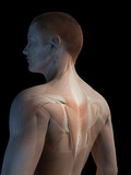 medical 3d illustration - male muscle system - back muscles