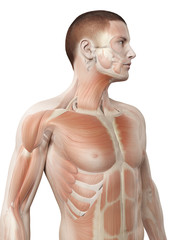 medical 3d illustration - male muscle system - upper body