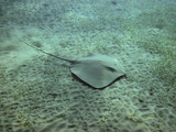Darkspotted stingray (Himantura uarnak) swimming over the sea bo