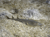 Halavi guitarfish on the sea bottom