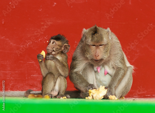 Monkey family eating fruits