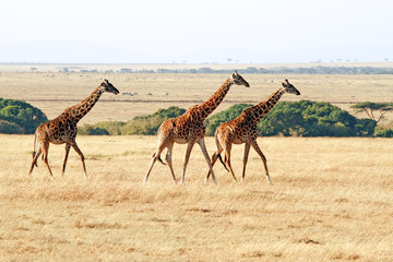 Giraffes on the Masai Mara in Kenya, Africa.