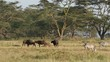 African buffaloes and plains zebras, Lake Nakuru National Park