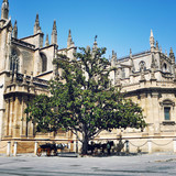 Tree in front of Seville Cathedral, Spain