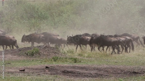Migratory blue wildebeest running in dust, Masai Mara