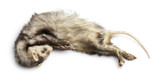 Dead Ferret, Mustela putorius furo, isolated on white