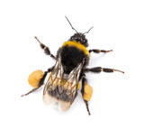 View from up high of a Buff-tailed bumblebee, Bombus terrestris