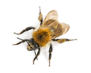 View from up high of a European honey bee, Apis mellifera