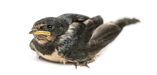 Baby Barn Swallow landed on the ground, Hirundo rustica