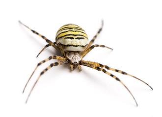 Wasp spider, Argiope bruennichi, isolated on white
