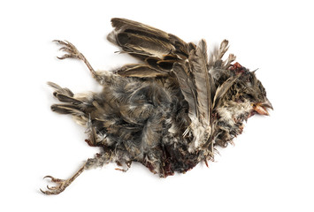 Dead roadkill House Sparrow in state of decomposition