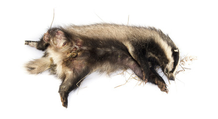 Roadkill European badger lying on its back, rotting
