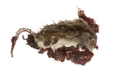 Roadkill Street rat in state of decomposition, Rattus norvegicus