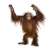 Young Bornean orangutan standing, reaching up, Pongo pygmaeus