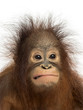 canvas print picture Close-up of a young Bornean orangutan making a face