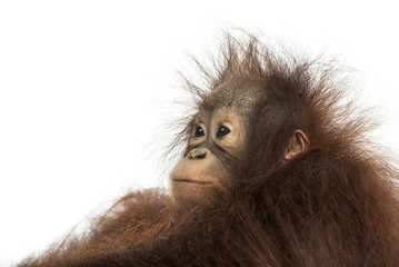 Close-up of a young Bornean orangutan's profile, looking away