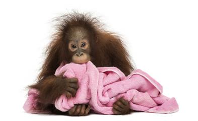 Young Bornean orangutan lying, cuddling a pink towel