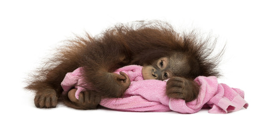 Young Bornean orangutan tired, lying and cuddling a pink towel