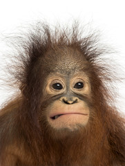 Close-up of a young Bornean orangutan making a face