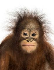 Close-up of a young Bornean orangutan facing