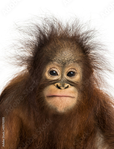 Close-up of a young Bornean orangutan facing