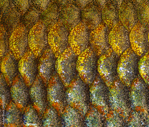 Macro of an Eastern Rainbowfish skin, Melanotaenia splendida